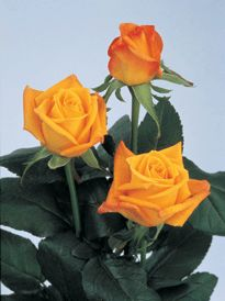 Roses: Bicolor,Yellow*** (Very similar in color to the Aalsmeer Gold variety)**Variety: (Tresor 2000)*** Number of petals: (34-38)** Vase Life:(12-14) Days** Fragrance: (NO )** (EXCELLENT Bright Yellow alternative)