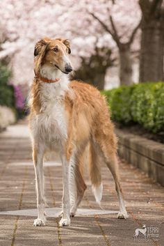 Borzoi Russian Wolfhound Sighthound Puppy Dogs