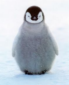 Penguin pictures and important penguin information. View tons of cute penguins and learn interesting facts about these delightful birds. Cute Baby Penguin, Cute Penguins, Cute Baby Animals, Animals And Pets, Funny Animals, Wild Animals, Penguin Animals, Animal Babies, Funny Penguin