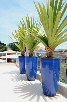 Add a statement piece to your garden or patio. Wholesale pricing available through Arizona Pottery. Buy glazed planters & other flower pots today! Tropical Garden, Tropical Plants, Container Plants, Container Gardening, Potted Palms, Landscape Design, Garden Design, Foliage Plants, Outdoor Plants