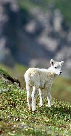 # animals  Baby lambkins!