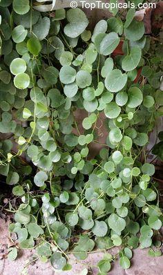 Cissus rotundifolia, Arabian Wax Leaf, Peruvian Grape Ivy, Venezuelan Treebine, Succulent Grape