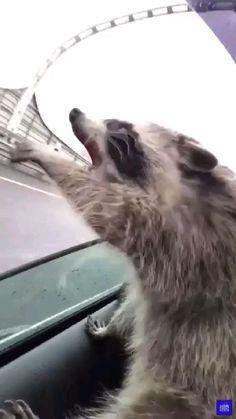 Animal Jokes, Funny Animal Memes, Funny Animal Pictures, Cute Little Animals, Cute Funny Animals, Funny Dog Videos, Funny Dogs, Funny Raccoons, Cute Raccoon