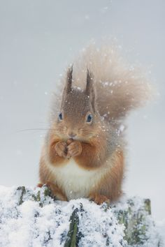 Red Squirrel Nibbling A Nut - A red squirrel makes the most of a free meal on a snowy day in the Scottish Highlands.