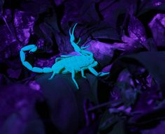 Arizona Scorpion (by sundevilstormin)  In Arizona, some people like to go hunting with blacklights at night to find the nocturnal scorpions. As you can see, they glow a brilliant neon color.