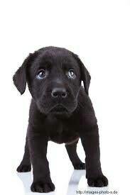 Labrador boy