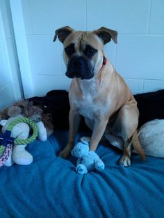 Roxy – 9 month old female Bull Mastiff cross Staffordshire Bull Terrier dog for adoption at Bullies in Need
