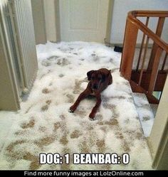 Dog Vs Beanbag, is that a Rhodesian Ridgeback?