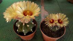 Astrophytum capricorne x asterias Cactus Flower, Flowers, Plants, Capricorn, Plant, Royal Icing Flowers, Flower, Florals, Floral