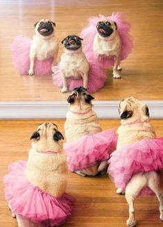 about Ballerina Pugs Funny Dog Birthday Card - Greeting Card by Avanti Press Ballerina pugs - so cute!Ballerina pugs - so cute! Baby Animals, Funny Animals, Cute Animals, Cute Pugs, Cute Puppies, Bulldog Puppies, Pug Love, I Love Dogs, Pugs And Kisses