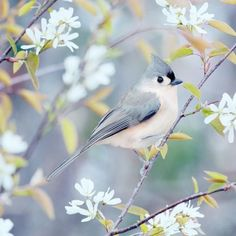 "Fine Art Bird Photography Print """"Tufted Titmouse in Spring"""""