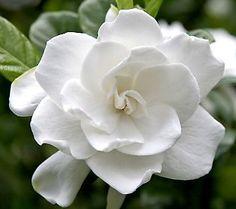 Gardenia flower - perfume !!!