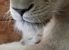 Day old white lion cub at Belgrade zoo.