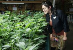 Marijuana ballot initiatives Five more states may make pot legal Medical Marijuana, Cannabis, Marijuana Plants, Save The Planet, Nevada, About Uk, Weed, The Cure, Herbs