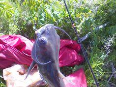 This Big Catfish really put up a fight. Best Fishing Days, Fishing Times, Big Catfish, Horses, Animals, Animales, Animaux, Horse, Animal