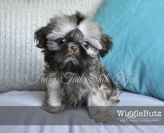 Rain - Fairy Tail Shih Tzu-Tiny Teacup Imperial Shihtzu Puppy for Sale