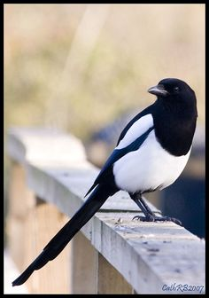 Black-billed Magpie (Pica hudsonia), aka the American magpie.