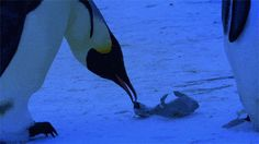 Penguins mourning for their deceased child…and animals don't have feelings?