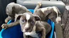 """Three pit bull puppies were rescued Wednesday after being dumped out of a vehicle in Detroit.  """"Thank God for our hero who saw it and noticed the bin moving and turned around to rescue them before they could get hit and killed by car,"""" the rescue group posted.  According to the Detroit Pit Crew Dog Rescue, the puppies were found in a plastic bin in the I-94 and Cadieux-Morang area."""