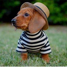 Looks very spiffy ❤️ #dachshund