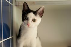 Maxene, Cat Available for Adoption