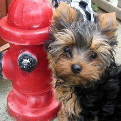 Yorkshire terrier cutie!!
