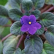 Botanical name: Saintpaulia ionantha  Other names: African violet  Toxic to dogs.