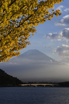 Fuji and Ginkgo  イチョウと富士山