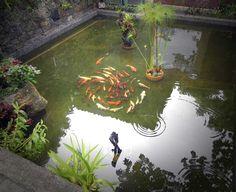 Koi swimming in large formal water garden
