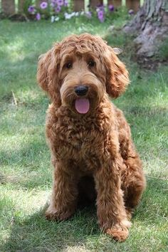 A red australian labradoodle named Penny! Goldendoodle Full Grown, Goldendoodle Haircuts, Goldendoodle Grooming, Dog Grooming, Apricot Goldendoodle, Goldendoodle Miniature, Red Labradoodle, Australian Labradoodle, Cockapoo