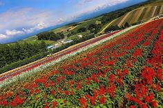"""""""🌷🌼 . . . #nature #japan #asia #asian #hokkaido #clouds #pretty #travel #wander #sky #biei #traveljapan #discoverjapan #jp #farm #farmtomita #travelblogger #blog #instatravel #igersph #igersjp #wanderlust #traveller #colorful #red #flowers #field #furano"""" by @gonicolec. #pic #picture #photos #photograph #foto #pictures #fotografia #color #capture #camera #moment #pics #snapshot #사진 #nice #all_shots #写真 #composition #фото #europe #roadtrip #여행 #outdoors #ocean #world #hiking #lonelyplanet…"""
