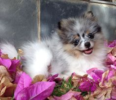 Blue Merle Pomeranian Floquinhobb - Beautiful.  LOVE, LOVE, LOVE his markings - kc
