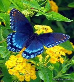 A butterfly in blue resting on yellow flowers - simply beautiful!