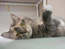 Precious is a beautiful girl and the sweetest little thing you'll ever meet! She is a very pretty grey and cream dilute calico female and has a wonderful personality.  Precious loves to give tail hugs and snuggle up against people.  She doesn't seem...