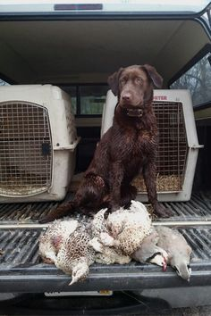 "Jeff Fuller, host of SportingDog Adventures on Sportsman Channel, breaks down the stereotypes among Labrador Retrievers in his blog post ""It's all in the Pedigree!"""