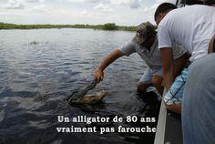 A l'occasion d'une balade en AIRBOAT dans les Everglades (Floride), Manu et toute sa famille entre en contact avec un alligator de plus de 80 ans. Bien que peu farouche, l'animal n'en ait pas moins impressionnant. Rencontre extraordinaire suivie d...