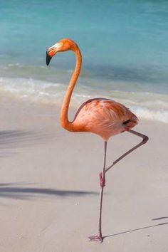 Flamingo on Flamingo Beach, Renaissance Island, Oranjestad, Aruba, Lesser Antilles Fotografie-Druck von Jane Sweeney bei AllPosters. Flamingo Art, Pink Flamingos, Flamingo Photo, Oranjestad Aruba, Flamingo Pictures, Fine Art Prints, Canvas Prints, America Images, Central America