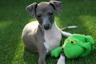 i love italian greyhounds