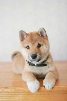 Shiba Inu- I love these.  I saw them everywhere in Japan.  They look like little foxes. @Summer Olsen Bridges