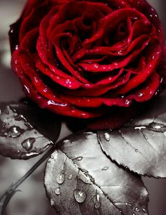 ✩⋆ Red Color Splash ⋆✩ Red and Grey ⋆✩ Rose