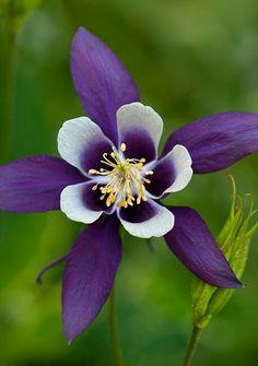 bi-color purple Columbine