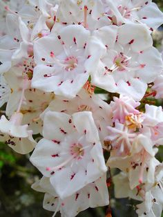 Mountain laurel blooms.