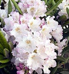 Rhododendron (Mikkeli Rhododendron)