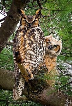 Great Horned Owl with her chick Credit: Photograph by A. Hand The Great Horned Owl (Bubo virginianus), also known as the Tiger Owl, is a large owl. Beautiful Owl, Animals Beautiful, Cute Animals, Beautiful Couple, Wild Animals, Baby Animals, Funny Animals, Beautiful Pictures, Owl Photos