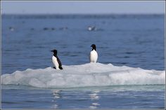 All sizes | Brünnich's Guillemot looking like Penguins | Flickr - Photo Sharing!