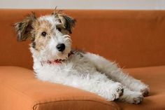 Lazy day for my little wire fox terrier