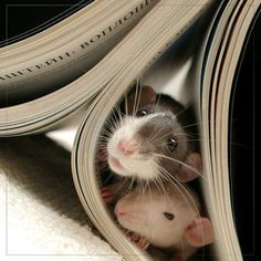 Ratties love books