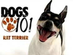 Love this video from Animals Planet's Dogs 101 on Rat Terriers.