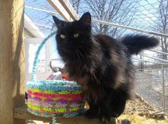 Meet Honeydew, an adoptable Domestic Long Hair-black looking for a forever home. If you're looking for a new pet to adopt or want information on how to get involved with adoptable pets, Petfinder.com is a great resource.