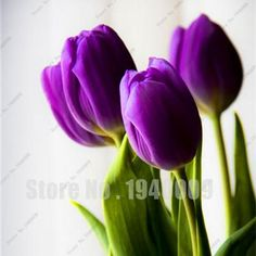 2 Pcs / Pack Tulip Bulbs,Tulip Flower tulipa Gesneriana,potted Plants, Planting Seasons, Flowering Plants